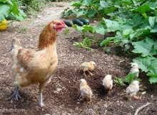 Chickens in vegetable gargen